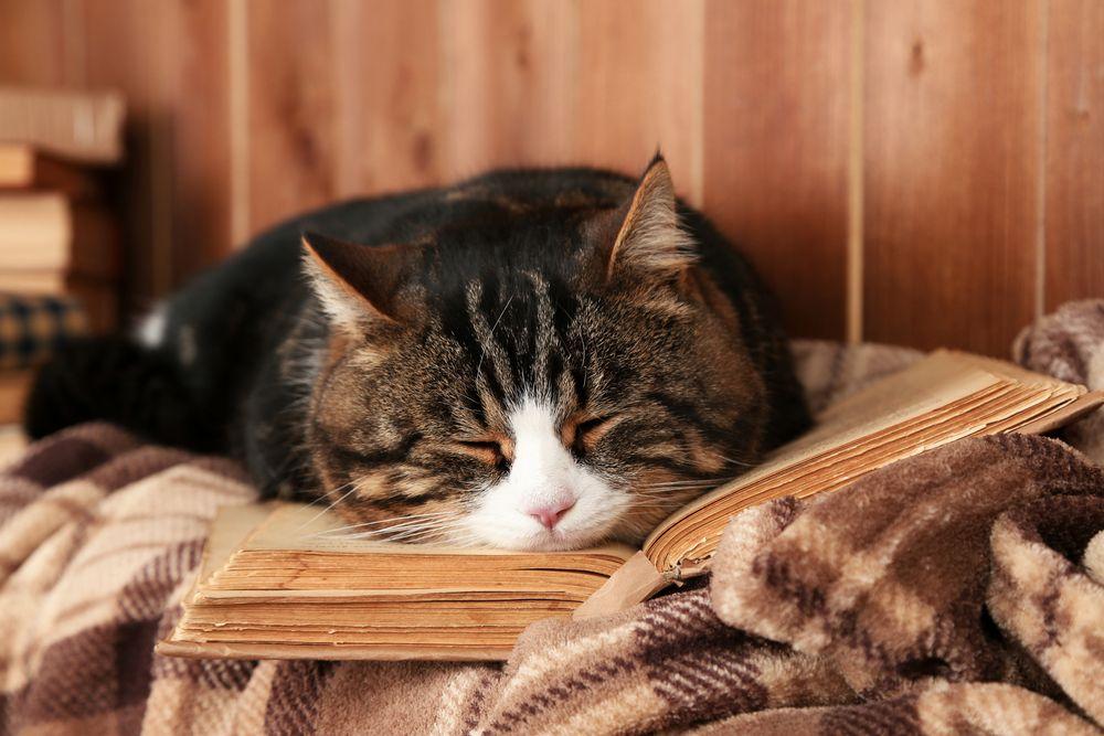 chat calme dort sur un plaid