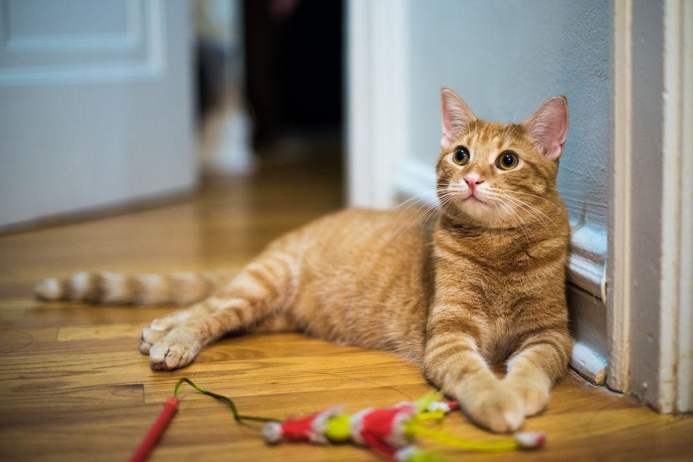 chat attentif prêt à jouer
