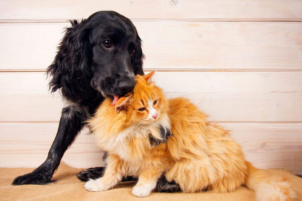chien noir fait la toilette à un chat roux cohabitation